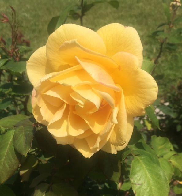 Book of Wonder: Summer Rose